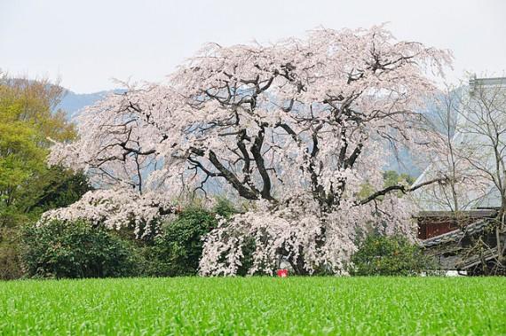 宝珠寺のしだれ桜